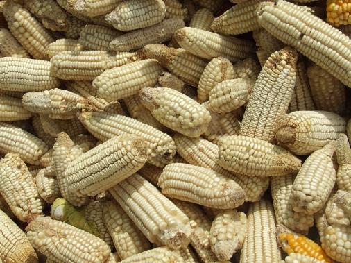 récolte de maïs de semences paysannes au Burkina Faso