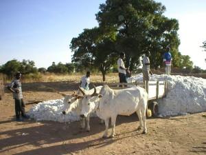Transport du coton au Mali, copyright SOS Faim